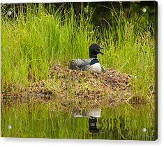 Acrylic Print featuring the photograph Common Loon Nesting by Brenda Jacobs