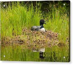 Common Loon Nesting Acrylic Print