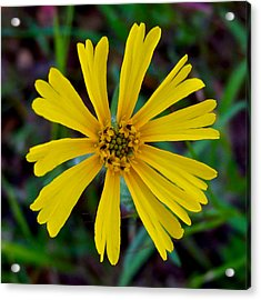 Common Madia In Park Sierra-ca Acrylic Print by Ruth Hager