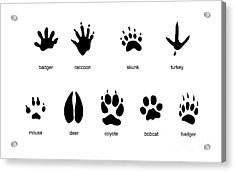 Common Mammal Animal Tracks Acrylic Print by Carlyn Iverson