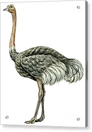 Common Ostrich Acrylic Print by Anonymous