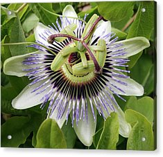 Common Passion Flower Acrylic Print
