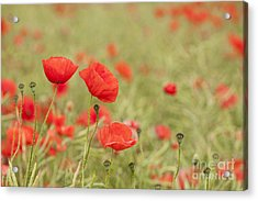 Common Poppies Acrylic Print by Anne Gilbert