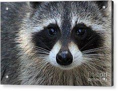 Common Raccoon Acrylic Print