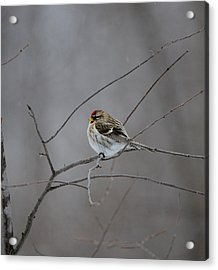 Acrylic Print featuring the photograph Common Redpoll by David Porteus