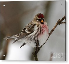 Common Redpoll Acrylic Print by Deborah Smith