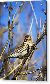 Common Redpoll Female Acrylic Print by Alyce Taylor
