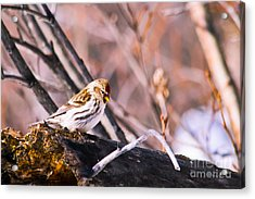 Common Redpoll Female Acrylic Print by Chris Heitstuman