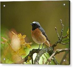 Common Redstart Acrylic Print by Paul Scoullar