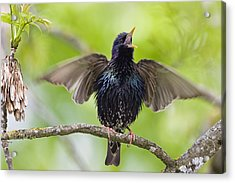 Common Starling Singing Bavaria Acrylic Print