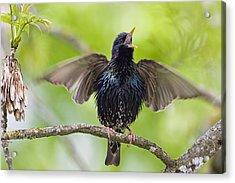 Common Starling Singing Bavaria Acrylic Print by Konrad Wothe