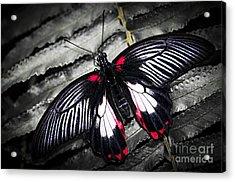 Common Swallowtail Butterfly Acrylic Print by Elena Elisseeva