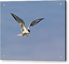 Common Tern Hovering Acrylic Print by Tony Beck