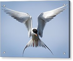 Common Tern Acrylic Print