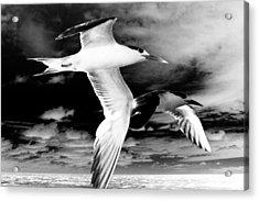 Common Terns Mono Acrylic Print