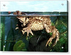 Common Toad Acrylic Print by Brian Gadsby/science Photo Library