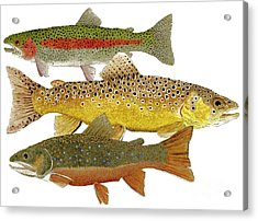 Common Trout  Rainbow Brown And Brook Acrylic Print