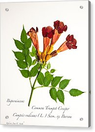 Common Trumpet-creeper 1 Acrylic Print