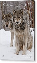 Companions Acrylic Print by Wolves Only