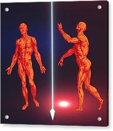 Computer Artwork Of Human Musculature (2 Figures) Acrylic Print