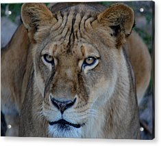 Concerned Lioness Acrylic Print