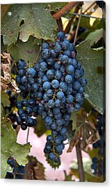 Concord Grapes Acrylic Print