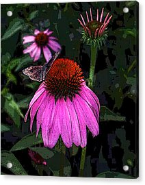 Cone Flower And Butterfly Acrylic Print