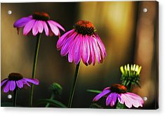 Cone Flower Shines... Acrylic Print
