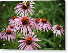 Cone Flowers Acrylic Print by Donald Williams