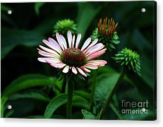Acrylic Print featuring the photograph Coneflower 2014 by Marjorie Imbeau