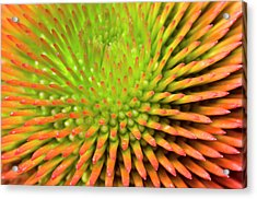 Coneflower Abstract Acrylic Print by Nigel Downer