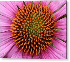 Coneflower Centre Abstract Acrylic Print by Nigel Downer