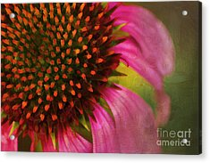 Coneflower Acrylic Print by Darren Fisher
