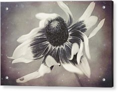 Coneflower In Monochrome Acrylic Print