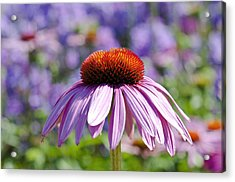 Acrylic Print featuring the photograph Coneflower by Lana Enderle
