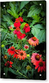 Coneflowers Echinacea Red   Acrylic Print by Rich Franco