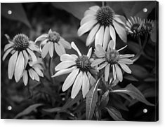 Coneflowers Echinacea Red Painted Bw Acrylic Print by Rich Franco