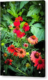 Coneflowers Echinacea Rudbeckia Acrylic Print by Rich Franco
