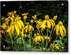 Coneflowers Echinacea Yellow  Acrylic Print by Rich Franco