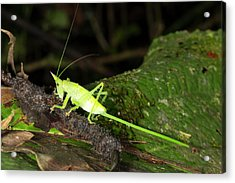 Conehead Katydid With Long Ovopositor Acrylic Print by Dr Morley Read