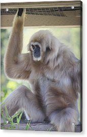 Contemplating Gibbon Acrylic Print by Melanie Lankford Photography