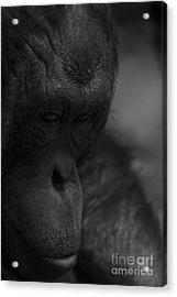 Contemplating Orangutan Acrylic Print