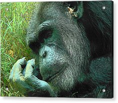 Acrylic Print featuring the photograph Contemplative Chimp by Rodney Lee Williams