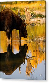 Acrylic Print featuring the photograph Contemplative Moose by Aaron Whittemore