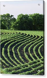 Contour Planted Field Of Young Soybeans (glycine Max). Acrylic Print by Inga Spence