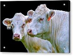 Contrast Cows Acrylic Print
