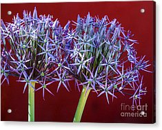 Acrylic Print featuring the photograph Flowering Onions by Roselynne Broussard