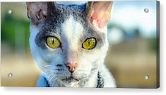 Cool Cat Acrylic Print by Tylie Duff