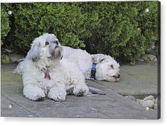 Acrylic Print featuring the photograph Havanese Dog Sisters B by Laurie Tsemak