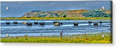 Cool Cows Acrylic Print by Kim Lessel